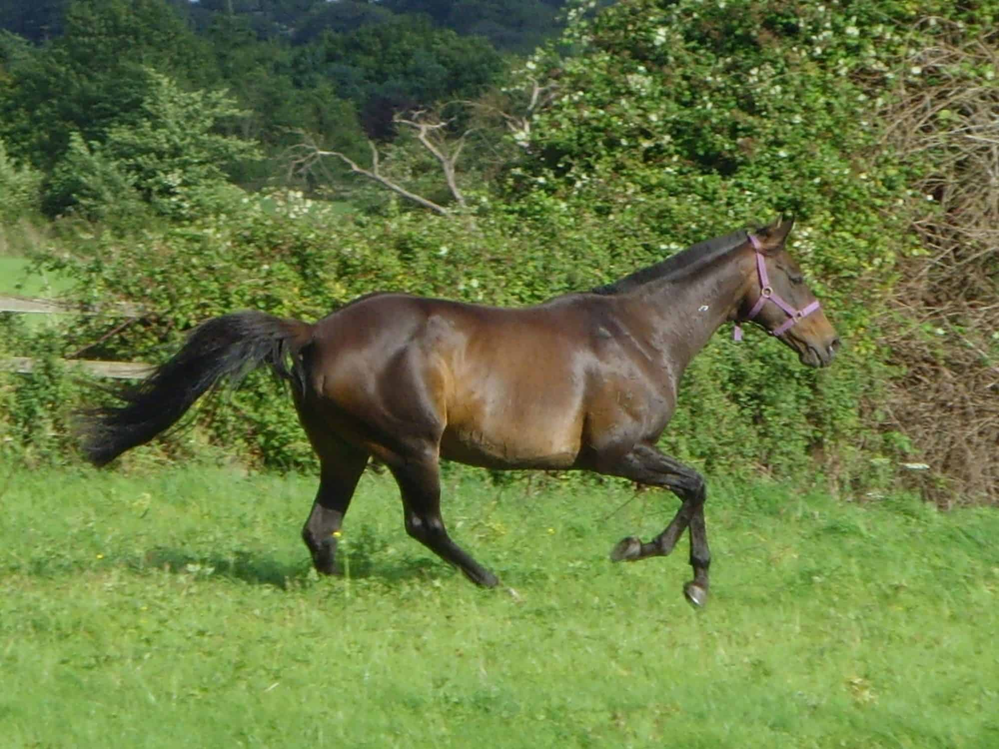 A New Zealand mare