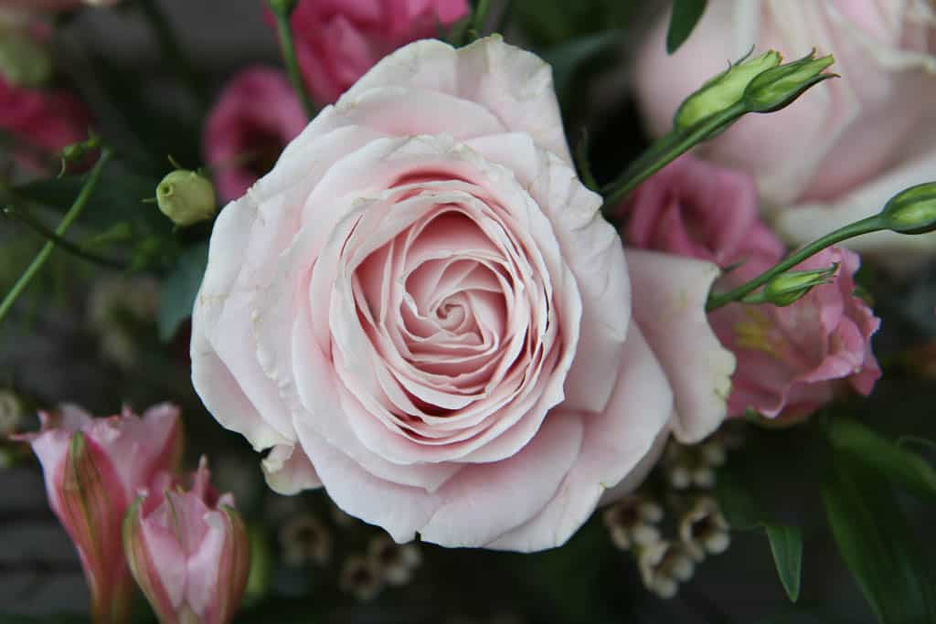 A picture of a Rose