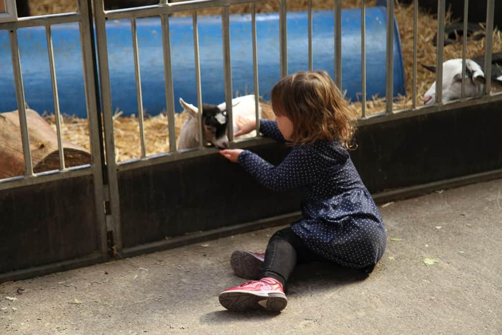 Feeding goats at Crealy