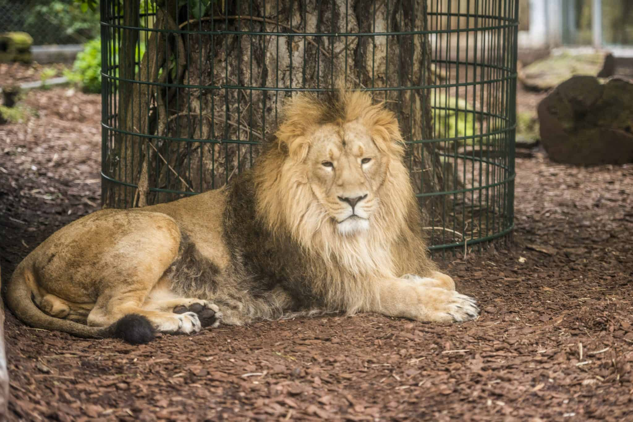 Asiatic lion Bristol Zoo