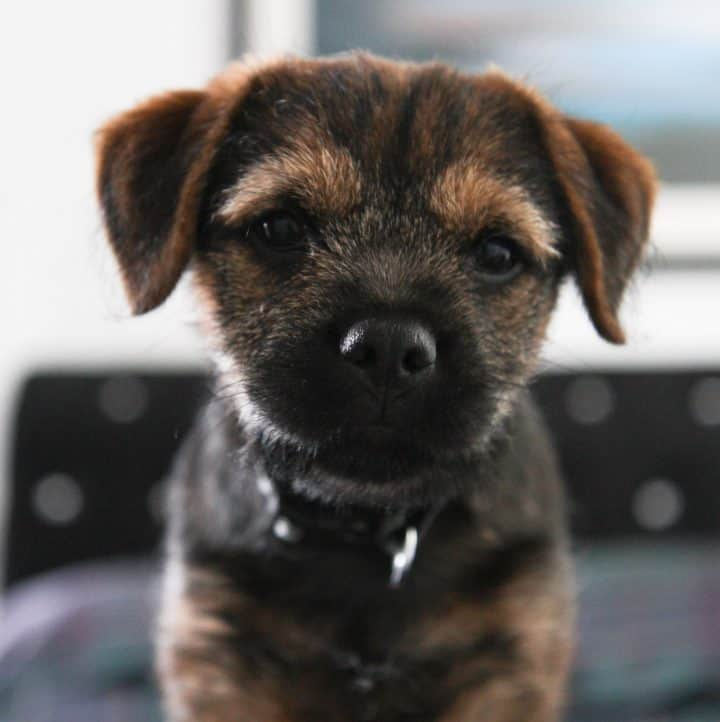 12 week old border terrier puppy